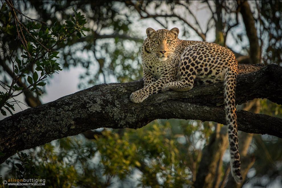 7. Леопард.