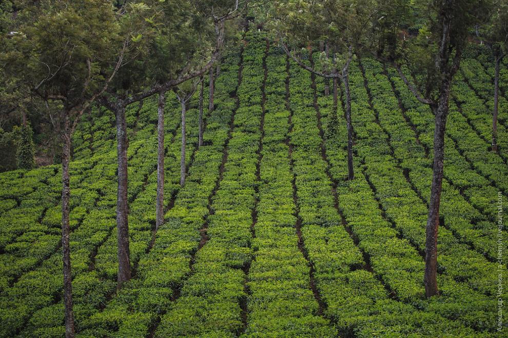 Кстати, плантации — это единственная виденная мной местность в Индии, на которой у дороги практическ