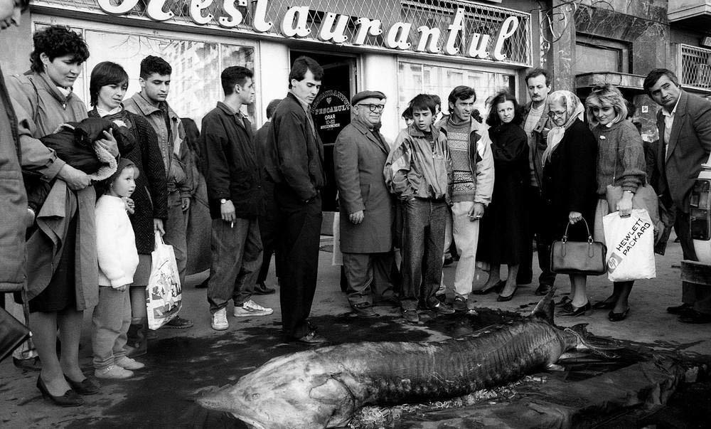 Работники крупного рыбного ресторана демонстрируют гигантскую белугу, чтобы доказать, что в заведени