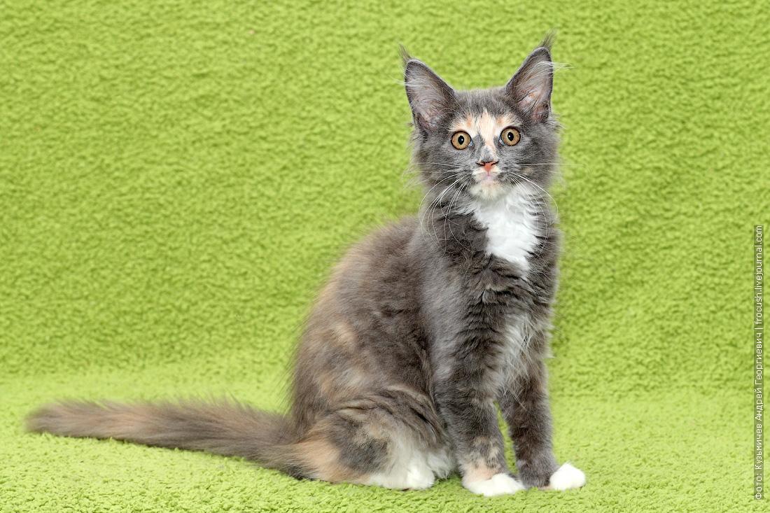 продажа из питомника котенок Мейн-кун