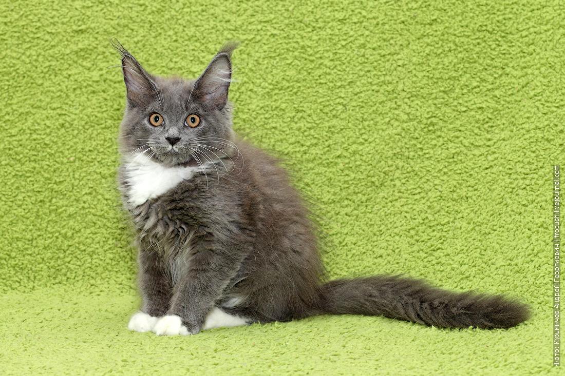 продается котенок Мейн-кун
