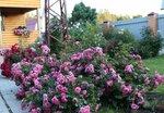 Les Quatre Saisons (MEIfafio, Pink Swany)Meilland Франция, 2003