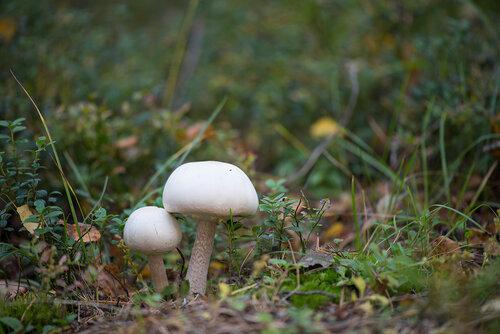 Agaricus silvicola Автор фото: Владимир Брюхов