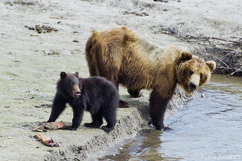 Камчатка. На медвежьем берегу.