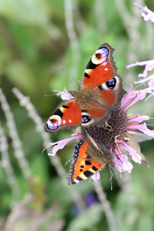 Две разные бабочки на одном цветке