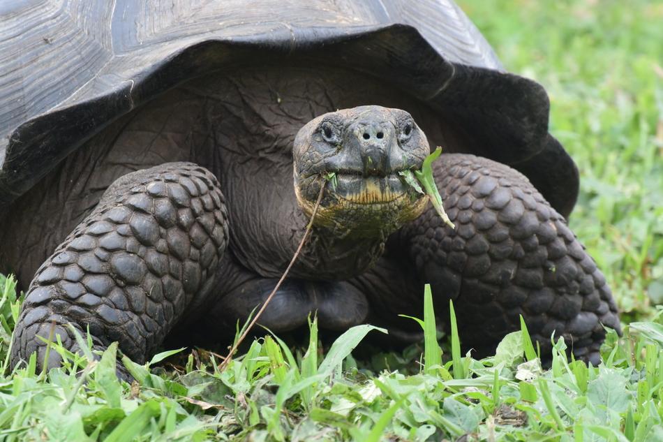 Популяция этих животных обитает на острове Санта-Крус. В прошлом году она была выделена в отдельный
