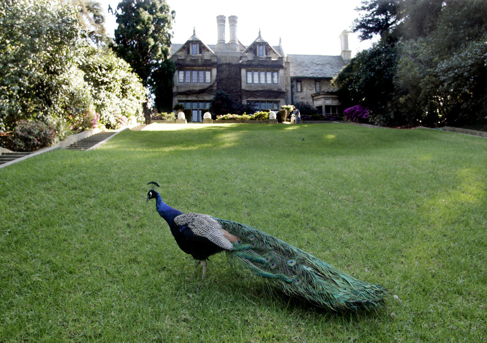 A peacock walks on the grounds of the Playboy Mansion in Los Angeles, California