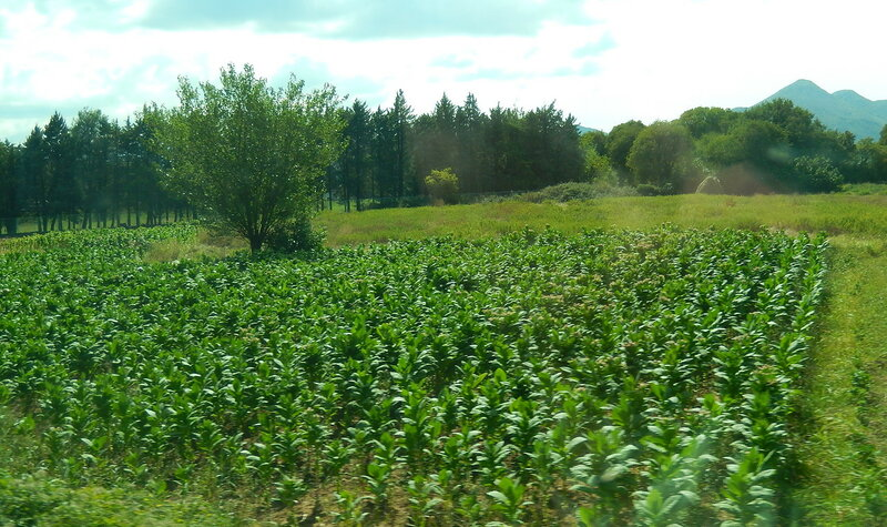 плантации табака