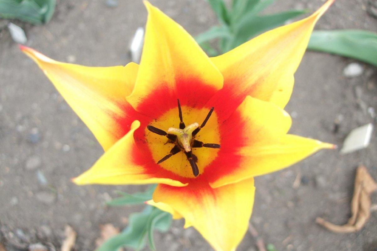 Луковицы тюльпанов тюльпанов дешево