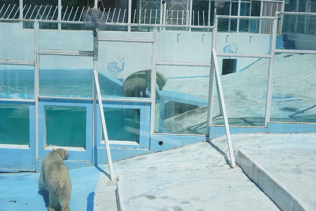 Белые медведи в зоопарке. Сафари-парк, Геленджик.