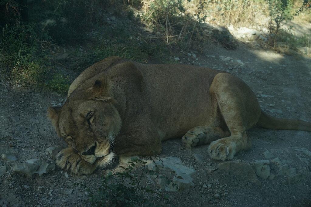 Спящая львица в зоопарке. Сафари-парк, Геленджик.