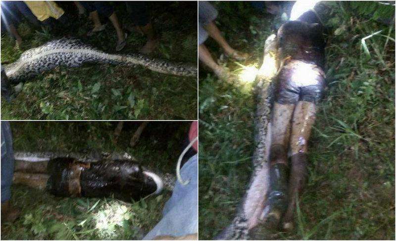 Труп человека достали из желудка огромного питона в Индонезии