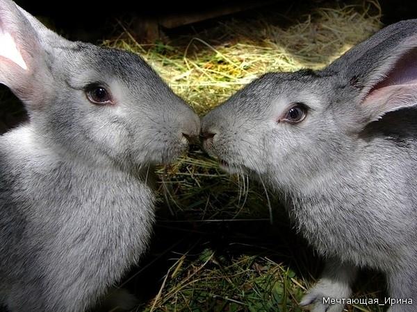 Открытки. 6 июля -день поцелуя! Поцелуй кроликов