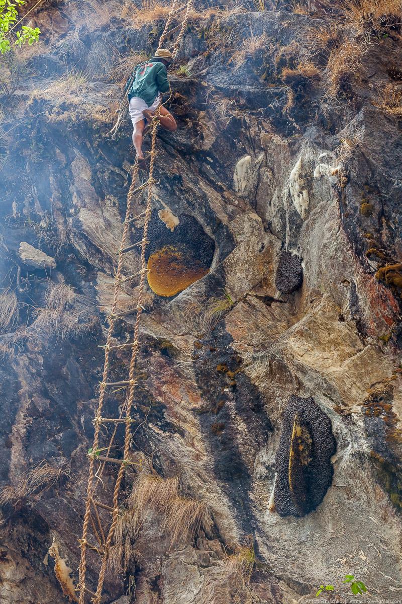 13. Орудуя длинными бамбуковыми палками, охотник срезает соты, наполняет ими корзину, которую з