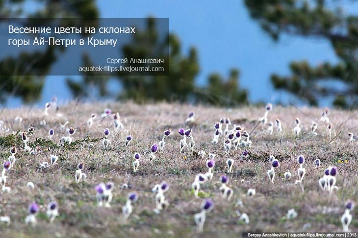 Фотографии и текст Сергея Анашкевича 1. Дикий адонис на склонах горы Ай-Петри в свете заходящег