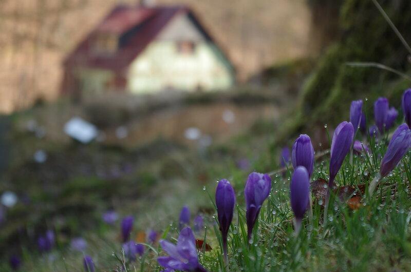 Крокусы на склоне всё ещё верят в весну
