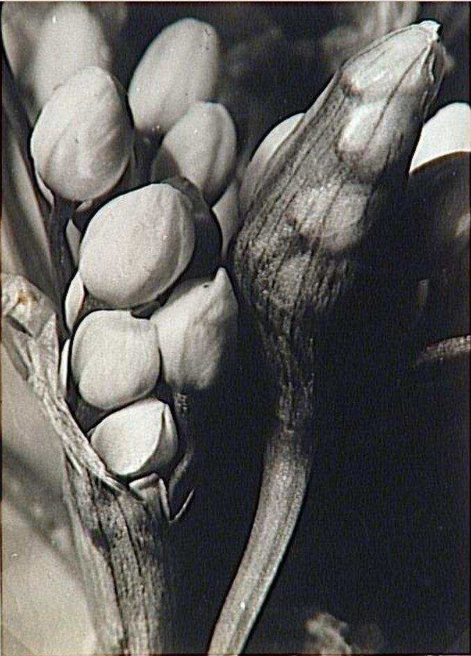 1932. Распускание цветка