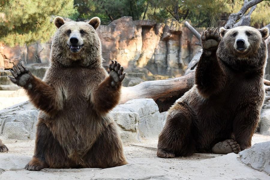 часто фото медведя с поднятой лапой для ношения холодного