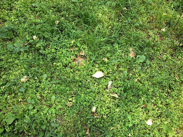 этот газон растет сам без стрижки.jpg