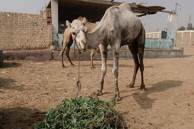 Известно, что верблюды — довольно непокорные животные, поэтому их бьют палками по морде и ногам.