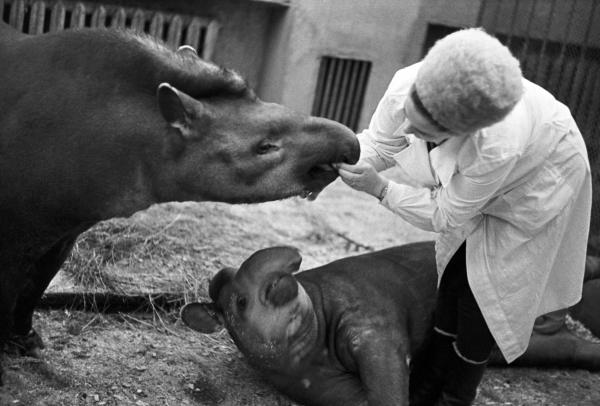 Московский зоопарк. Проверка зубов у тапира, 1973 год. Фото: Александр Устинов / РИА Новости.