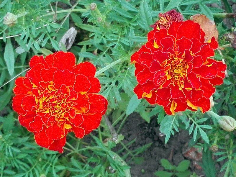 Цветы райского садика - бархатцы