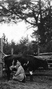 Совхоз Баранча. Дойка. 1930.