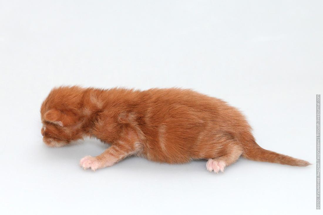 котенок мейн кун 1 неделя