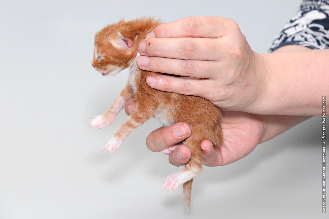 питомник москва котенок мейнкун