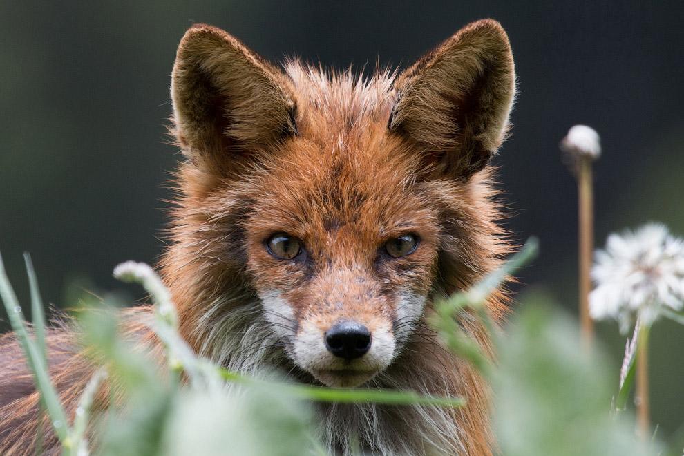 21. Грозный бегемот. (Фото Sam Kurtul | 2016 National Geographic Nature Photographer of the Yea