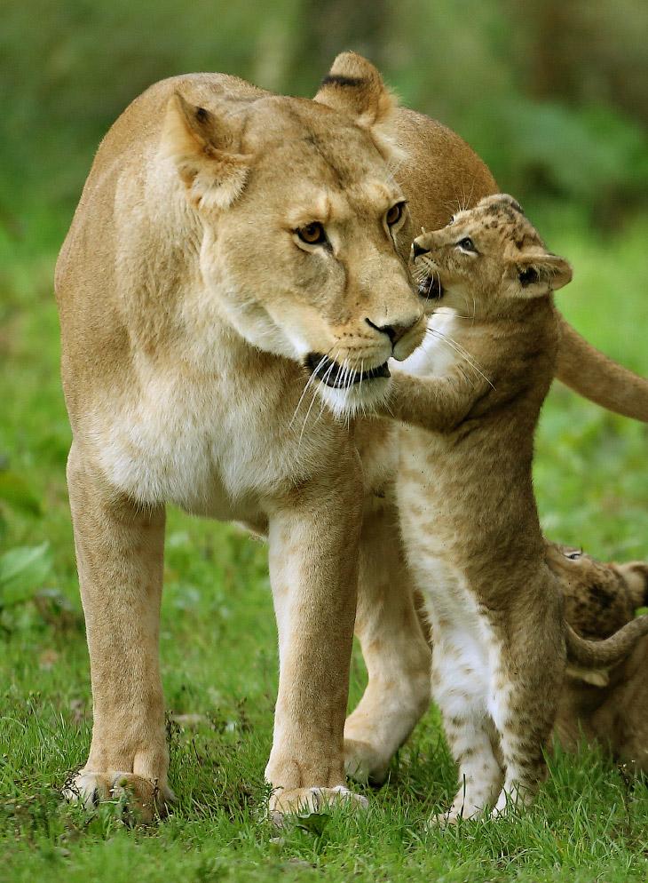 2. Львята рождаются с коричневыми пятнами на теле, как у леопардов. При достижении половой зрелости