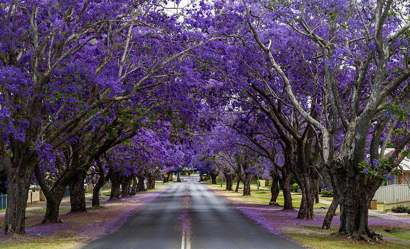 1. Южно-Африканская Республика. Йоханнесбург. Цветущие деревья жакаранды. (John)