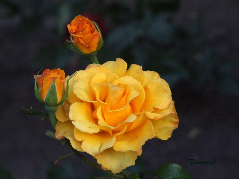 ж-роза-0.jpg