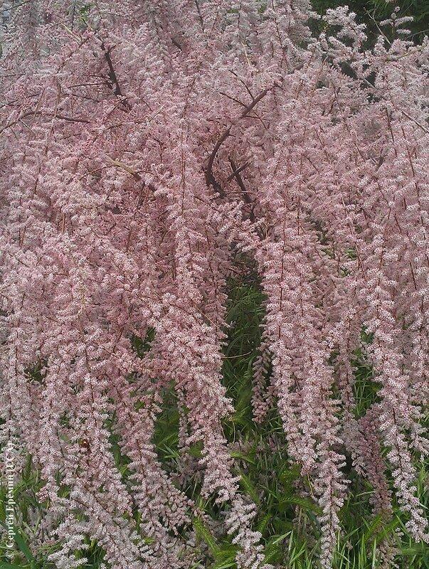 Тамариск цветёт