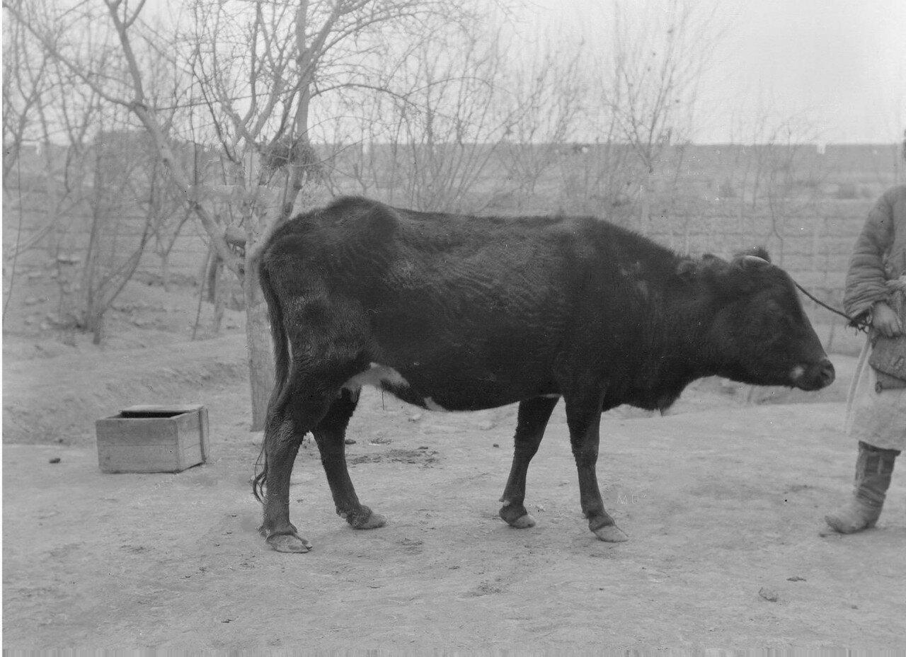Кашгарская корова