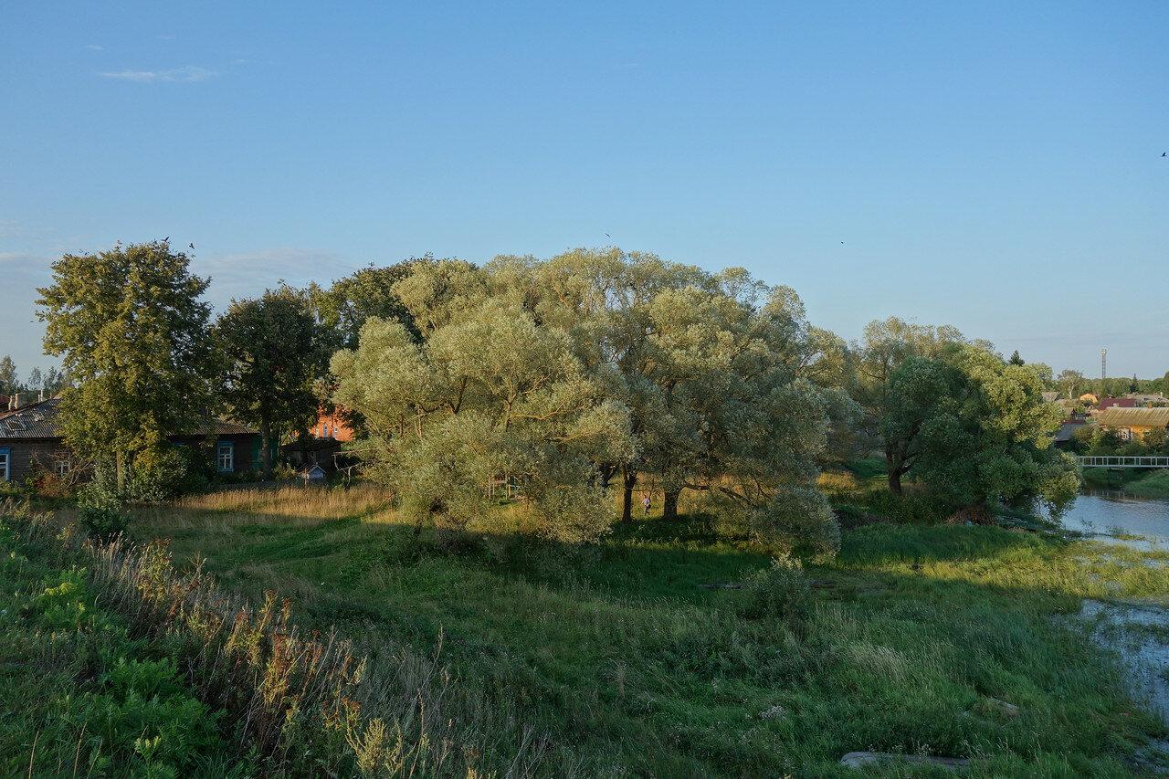 серебристо-голубые ивы