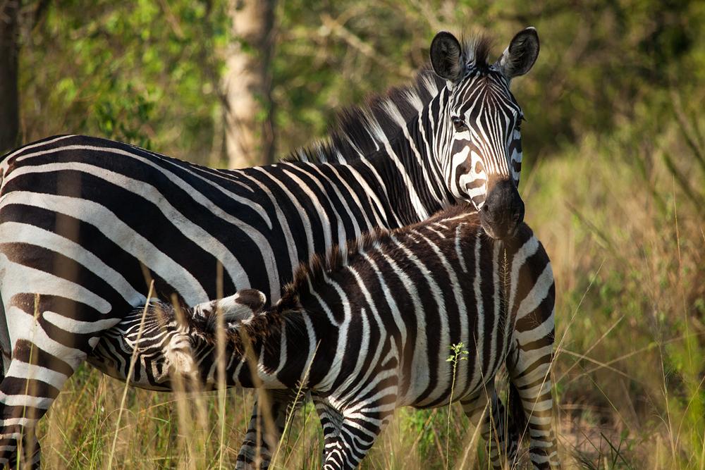 Equus quagga  Wikipédia