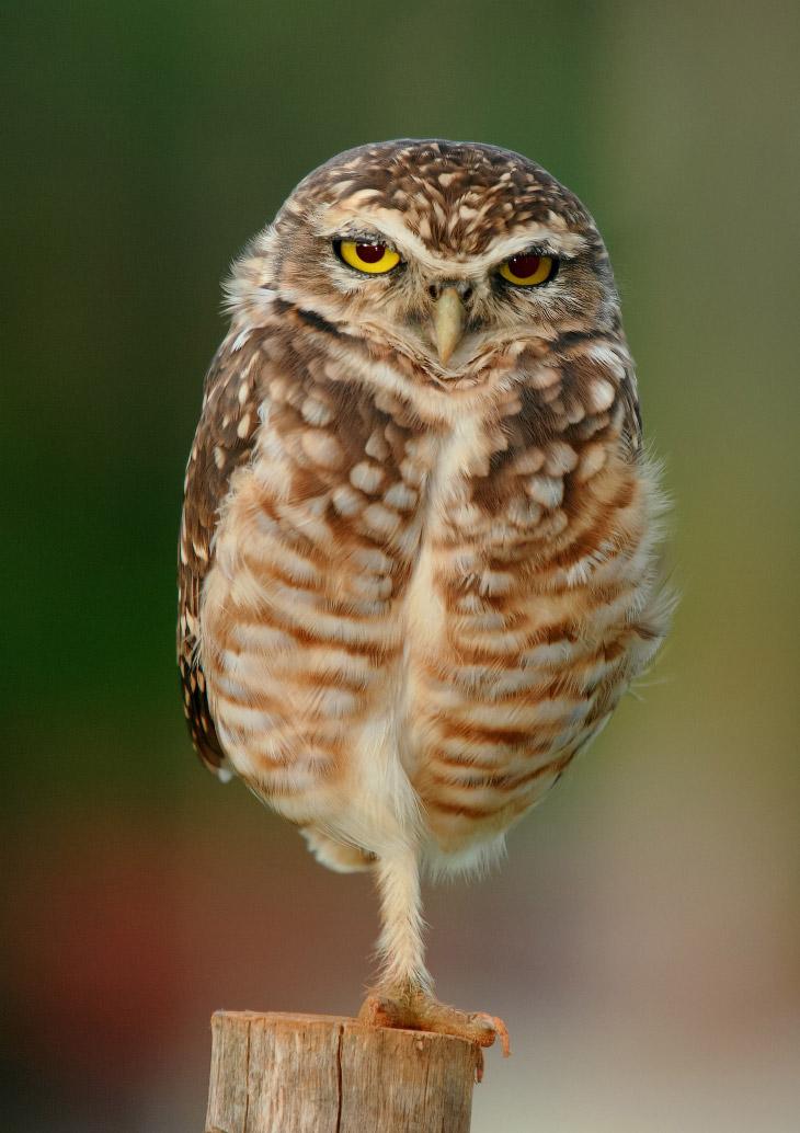 2. Пока родители охотятся, птенцы способны постоять за себя, изображая протяжное шипение и треск гре