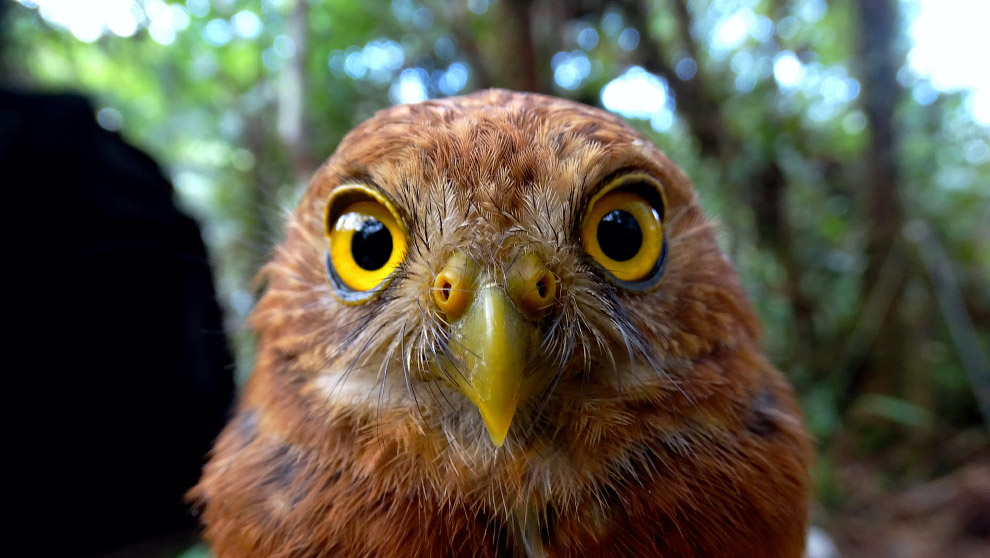 14. Гоацины — весьма древние птицы с очень вонючим и почти несъедобным мясом. Но основной их за