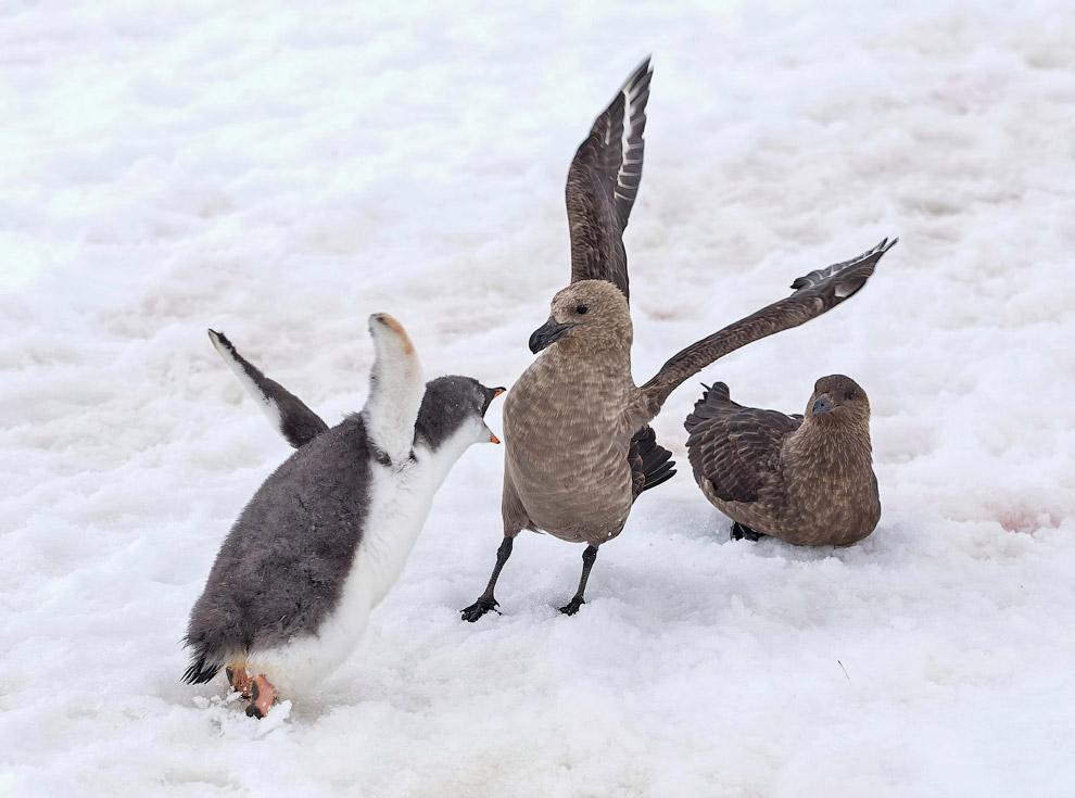 18. Аистоклювый зимородок. Обитают эти птицы как на поросших лесом берегах внутренних водоёмов,