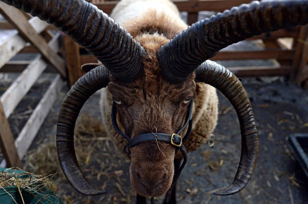 Настоящий баран. На самом деле, это овца породы мэнский лохтан. (Фото Nigel Roddis)