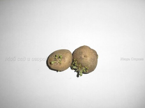 Клубни семенного картофеля от