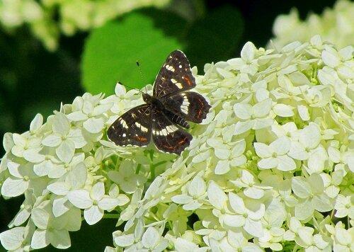 Бабочка на гортензии