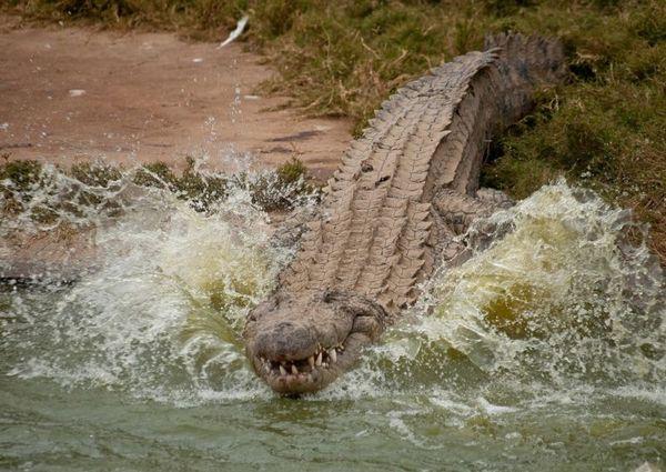 Крокодил внимательно наблюдает за своей добычей и прячется. Нильский крокодил, выжидающий удобн