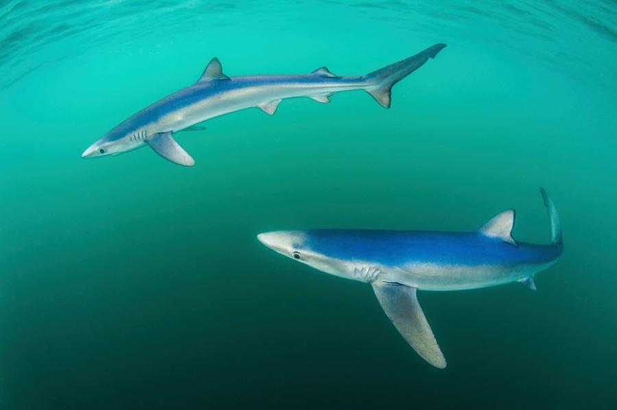 5. Категория «Море и побережье». «Синие акулы». Пензанс, Корнуолл, Англия. Фотограф: Paul Colley.