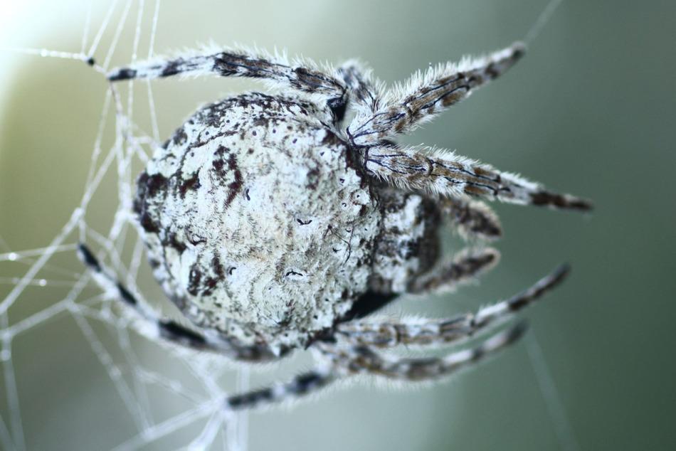 На территории Мадагаскара проживает крохотный, размерами 3-6 миллиметров, паук, площадь паутины кото