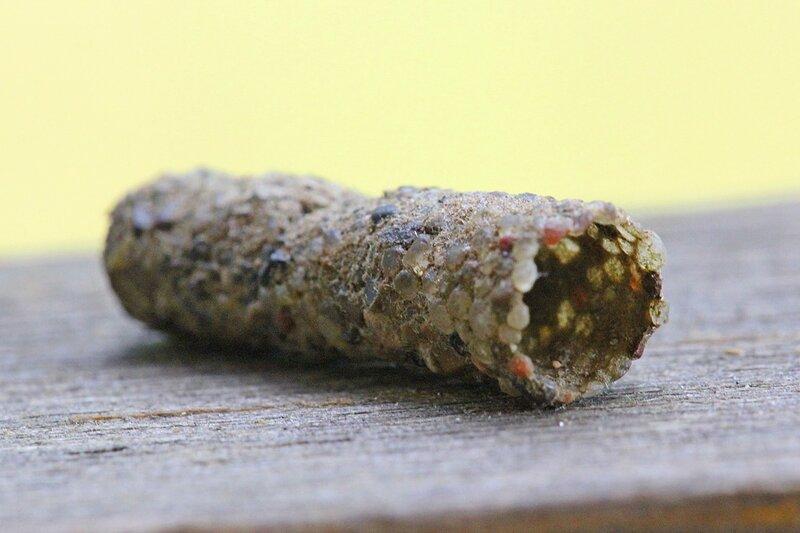 Пустой домик личинки ручейника (Trichoptera), сделанный из мелких камушков и песчинок, скрепленных под водой в единый чехол личинкой