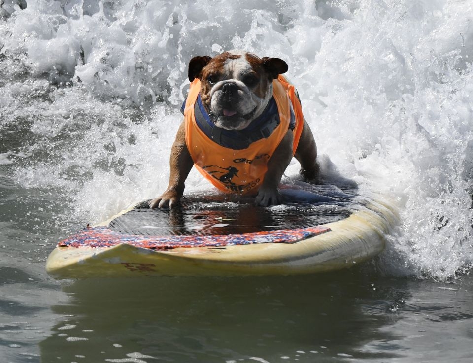 Surf dog Sully surfs a large wave during
