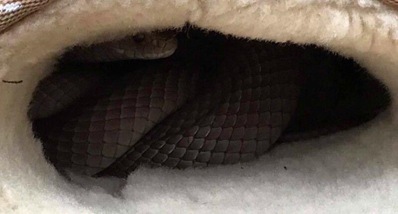 Австралийка обнаружила смертоносную змею в своих уггах