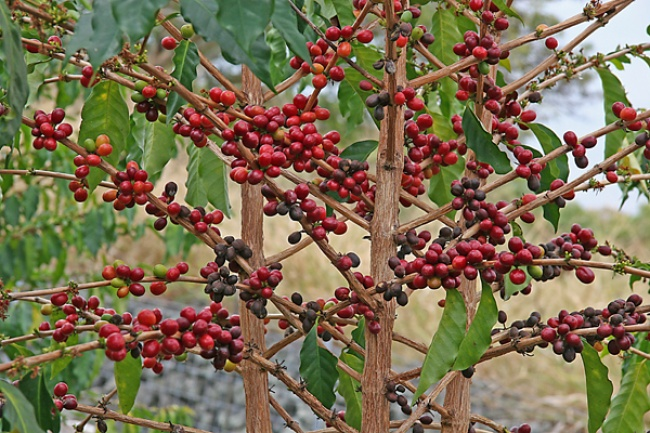 Кофе Кофейные зерна на самом деле не совсем зерна — скорее ягоды. И правильно говорить «ягоды кофейн